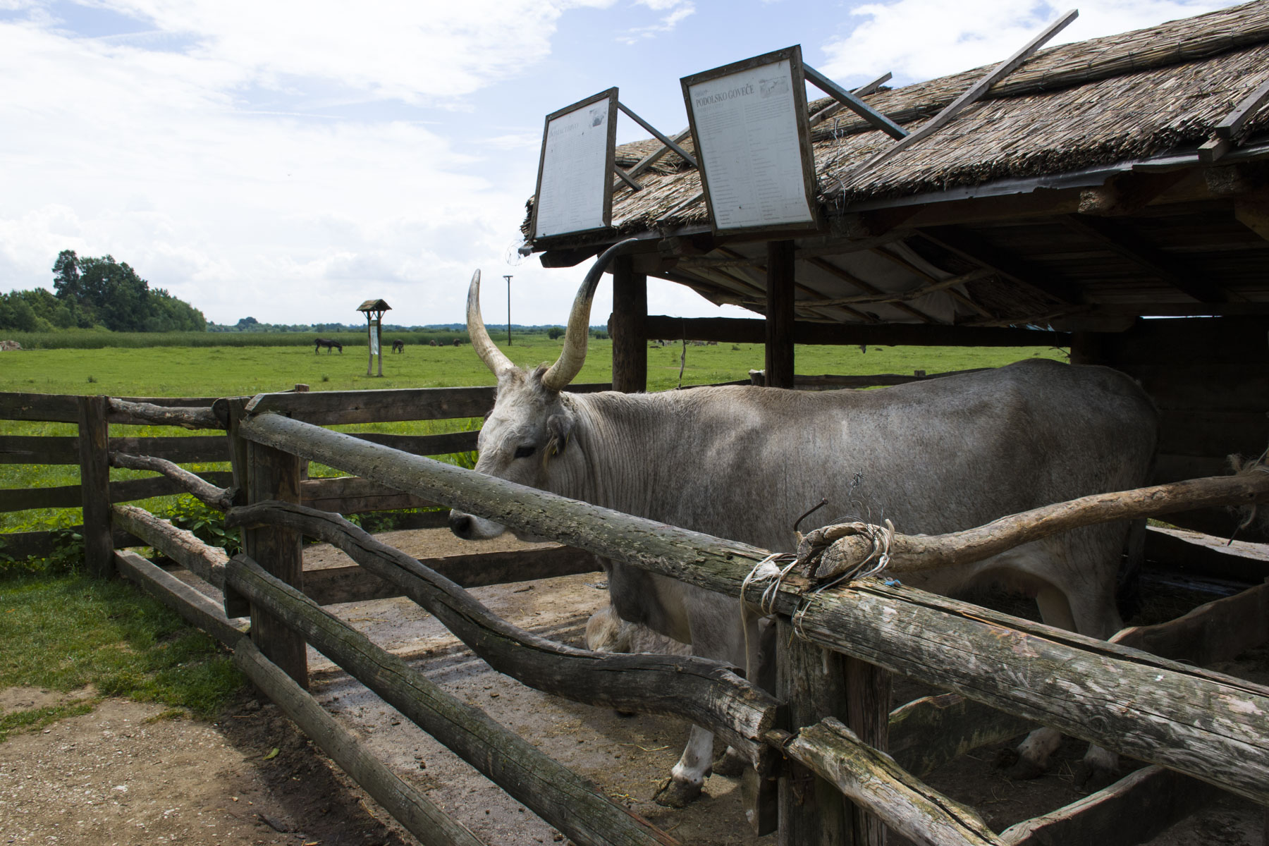 Podolian cattle. Visit Zasavica