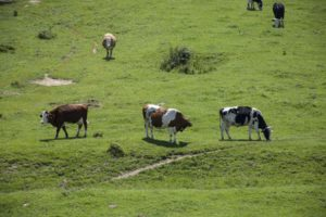 Pastures and cows