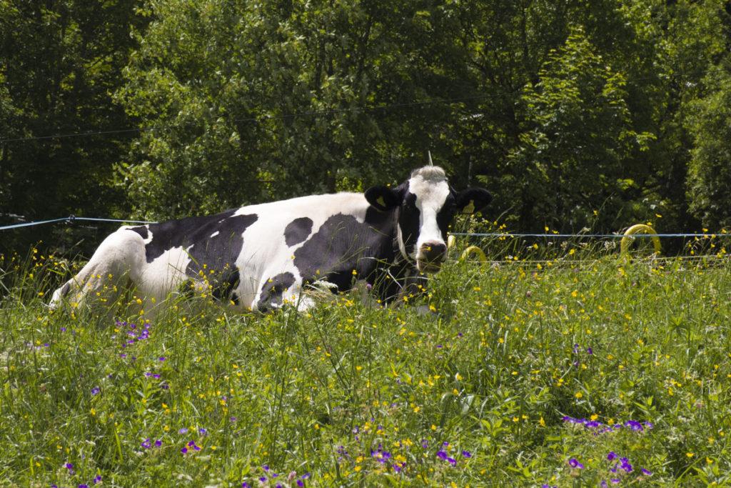 Crno bele krave Holstein