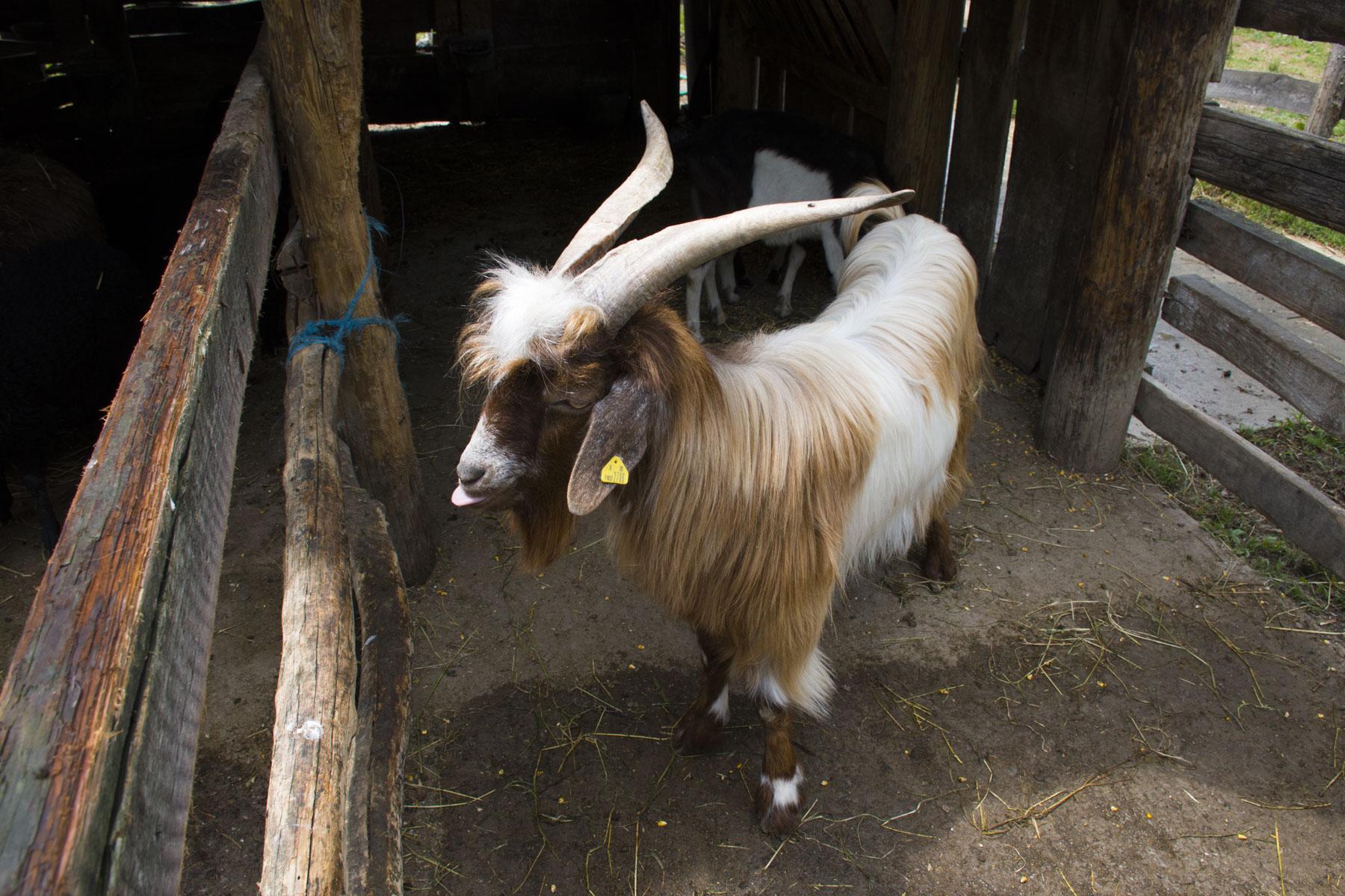Farm animals, Visit Zasavica