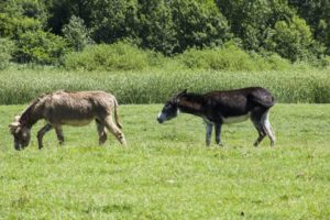 Donkeys in Zasavica