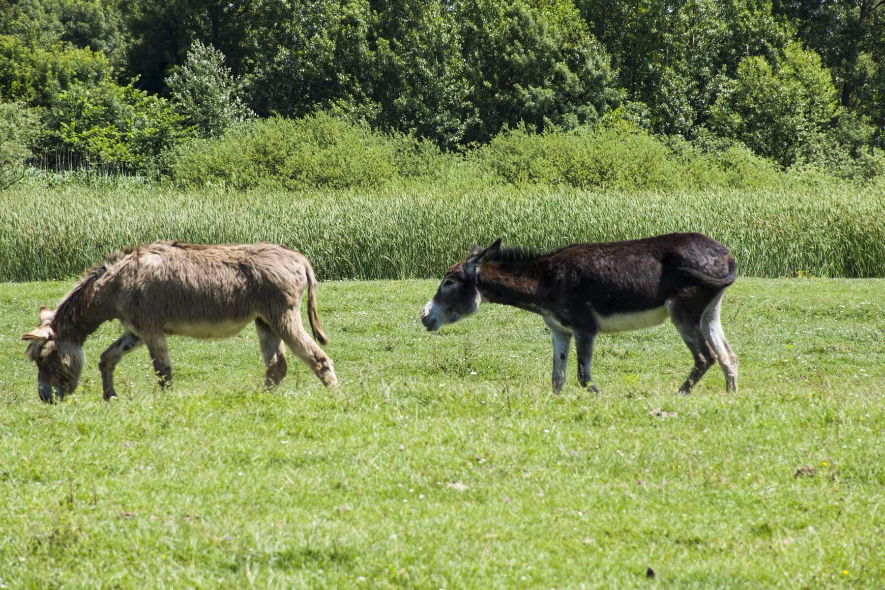 Donkeys in Zasavica, Visit Zasavica