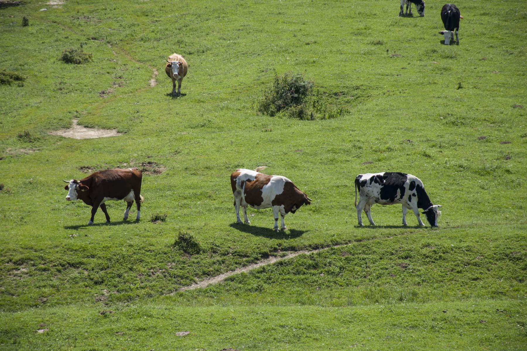 Pastures and cows. Visit Zasavica