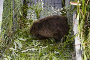 Our friend beaver