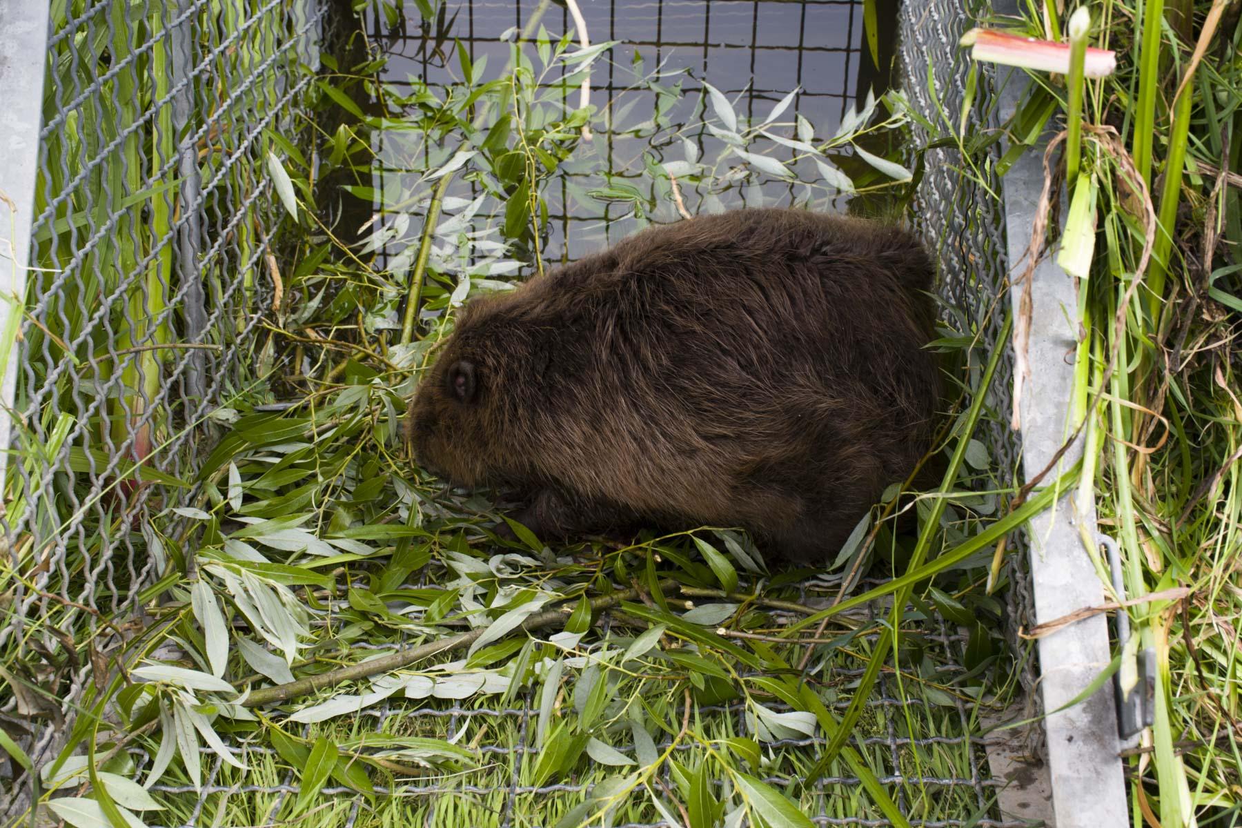 Our friend beaver. Visit Zasavica