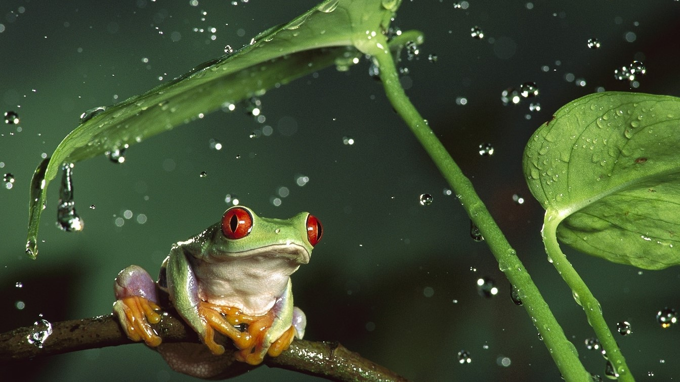 Wallpapersxl Frog Hd In Rain Free 1136657 1920x1080